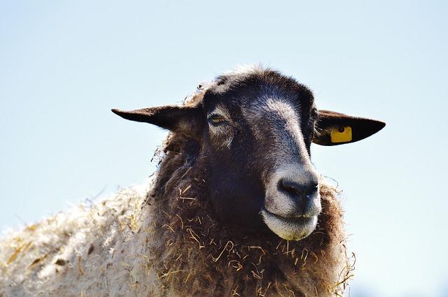 sheep-1347588_640